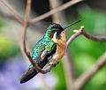 White-throated Moutain-Gem (7047720401).jpg
