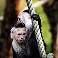 White-throated capucin monkeys.jpg