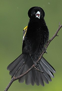 White-winged widowbird, Euplectes albonotatus, at Pilanesberg National Park, Northwest Province, South Africa (17320532836).jpg
