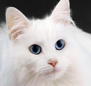 English: Blue-eyed cats with white fur have a ...