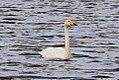 Whooper Swan (Cygnus cygnus) (8079420012).jpg