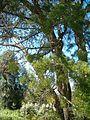 Widdringtonia nodiflora KirstenboshBotGard09292010M.JPG
