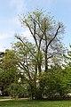 Wien-Hietzing - Naturdenkmal 179 - Japanischer Schnurbaum (Sophora japonica).jpg