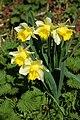 Wild daffodils near Redmarley D'Abitot - geograph.org.uk - 368724.jpg