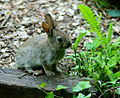 Wild rabbit at Alverstone Mead.jpg