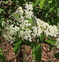 Wild raisin Viburnum cassinoides flowers leaves.jpg