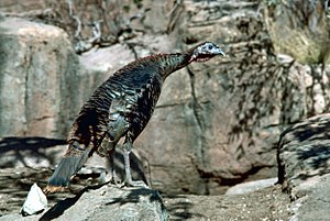 Geography of Mesoamerica - The turkey was one of the few species domesticated by the Mesoamericans.