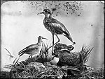 Wimbrel and Storm Curlew (4903245573).jpg
