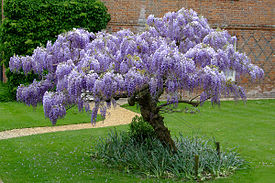 Wisteria at the Vyne.jpg