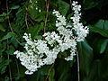 Witte bloemen in Houtwijk.jpg