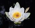 Witte waterlelie (Nymphaea alba) 01.JPG