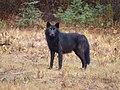 Wolf (5069335754).jpg