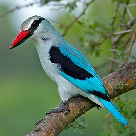 Woodland Kingfisher (Halcyon senegalensis) South Africa.jpg
