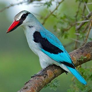 Tree kingfisher subfamily of birds
