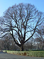 Woodland Tree in Pearson Park, Hull - geograph.org.uk - 718559.jpg