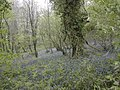 Woodland bluebells - geograph.org.uk - 409601.jpg