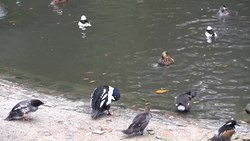 Fil:Wuppertal - Zoo - Ducks 01 (1) ies.webm
