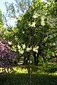 Xanthoceras sorbifolium3.jpg