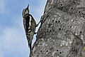 Yellow-bellied Sapsucker (Sphyrapicus varius) (8591587497).jpg