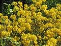 Yellow azalea.jpg