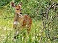 Young Nile Bushbuck (Tragelaphus bor) (6861335721).jpg