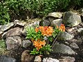 Young Rhododendron between rocks.jpg