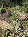 Yucca baileyi.jpg