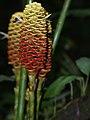 Zingiber spectabile (inflorescense).jpg