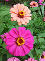 Zinnia from Lalbagh Flowershow - August 2012 101338.jpg