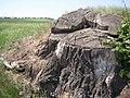Zizice KL CZ Zizicka lipa stump 030.jpg