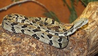 Crotalus - Crotalus horridus, timber rattlesnake
