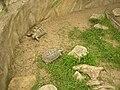 Zoopark Zajezd CZ Testudo graeca terrestris 094.jpg
