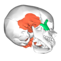 Zygomaticotemporal suture - lateral view2.png