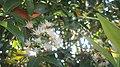 """+arya+"" Syzygium myrtifolium - daun pucuk merah - 2020 2.jpg"