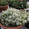 'Giga White' alyssum IMG 5037.jpg