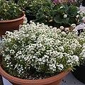 'Giga White' alyssum IMG 5038.jpg