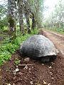 (Chelonoidis nigra) El Chato Reserve, Santa Cruz Galapagos )pic. u.JPG