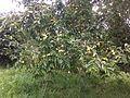 Árbol en fructificación de Psidium guajava.jpg