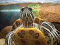 Żółw w akwarium (2).JPG