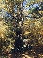 Бичківський дуб.jpg