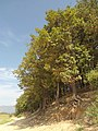 Благун - дървета.jpg