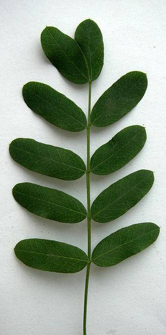 Leaflet (botany) - Image: Ветвь акации