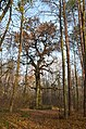 Віковий дуб «Бай-Бай», Оболонський район 004.jpg