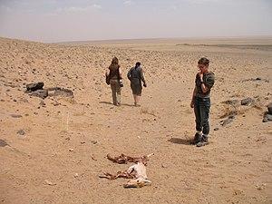 В експедиціях зоологи часто зустрічаються зі смертю. Дзерен (Procapra gutturosa), вбитий вночі вовком, вдень став їжею для чорних грифів.jpg