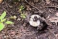 Голосіївський ліс ПечерицяDSC 0561.jpg