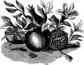 Гранатовое яблоко (БЭАН).png