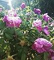 Дикая роза.jpg