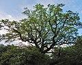Дуби — Голосіївські велетні, над рештою лісу.jpg