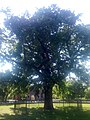 Дуб черешчатий, м. Херсон,Шевченківський парк.jpg