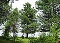 Заякинская кедровая роща 03.jpg